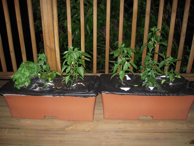 Mike's Amazing Pepper and Basil Garden